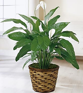 The Spathiphyllum Plant